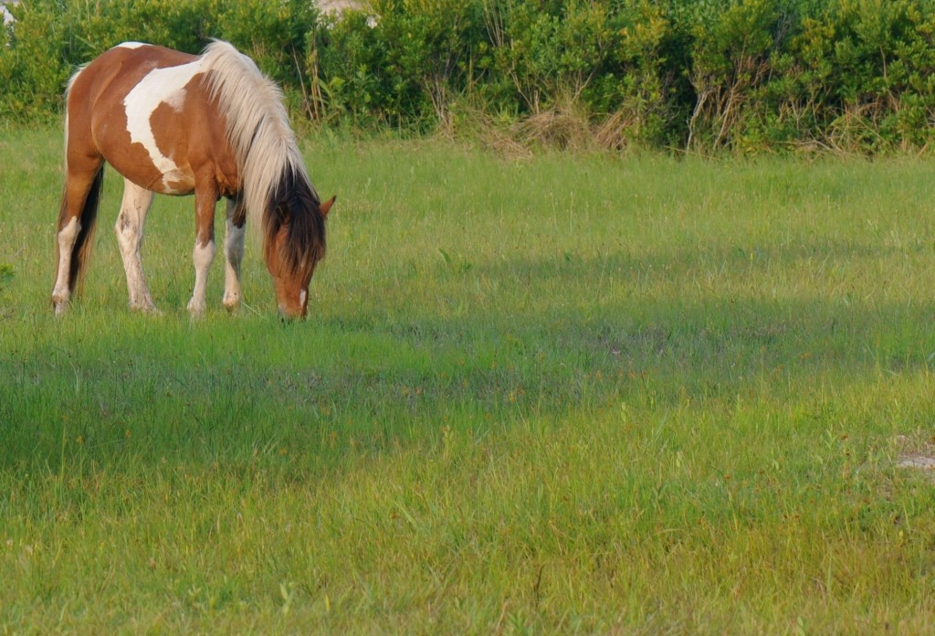 216Assateague horse3