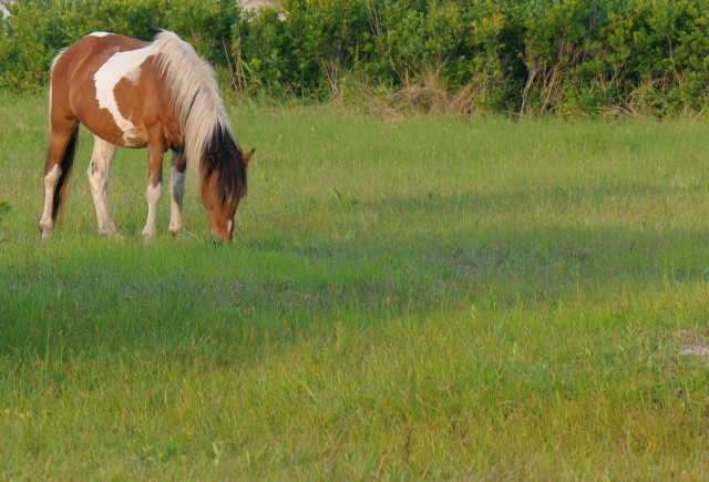 216Assateague horse3