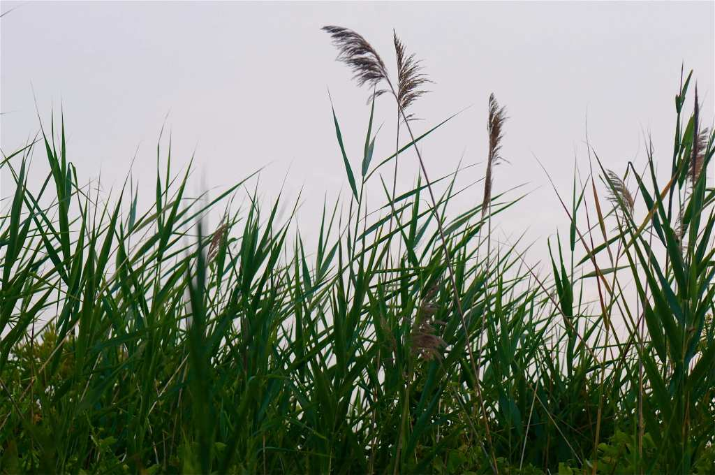 217Assateague grasses
