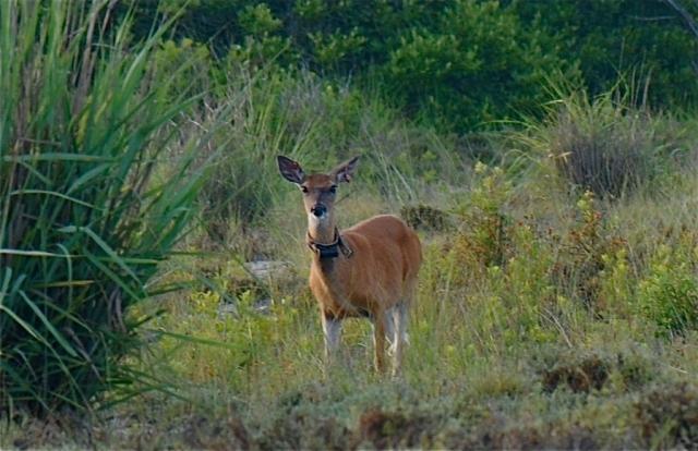 219Silka deer