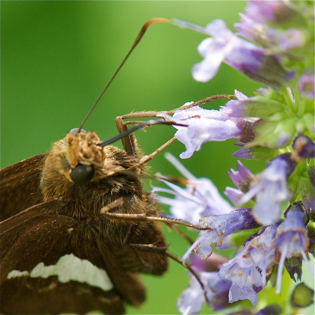 silver spotted skipper closeup