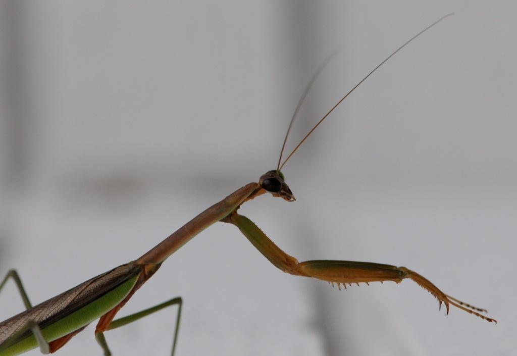 mantis 1