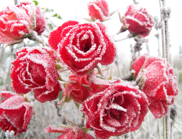 roses-in-snow-11